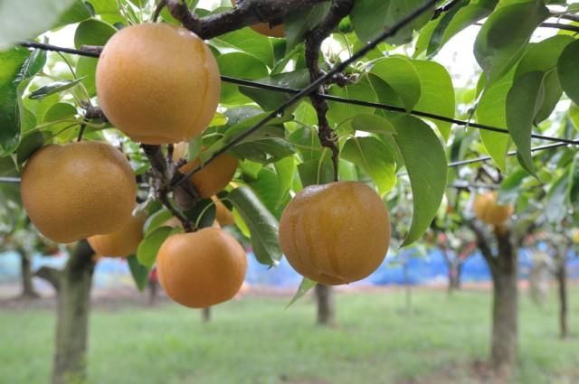 福田グリーン農園の梨